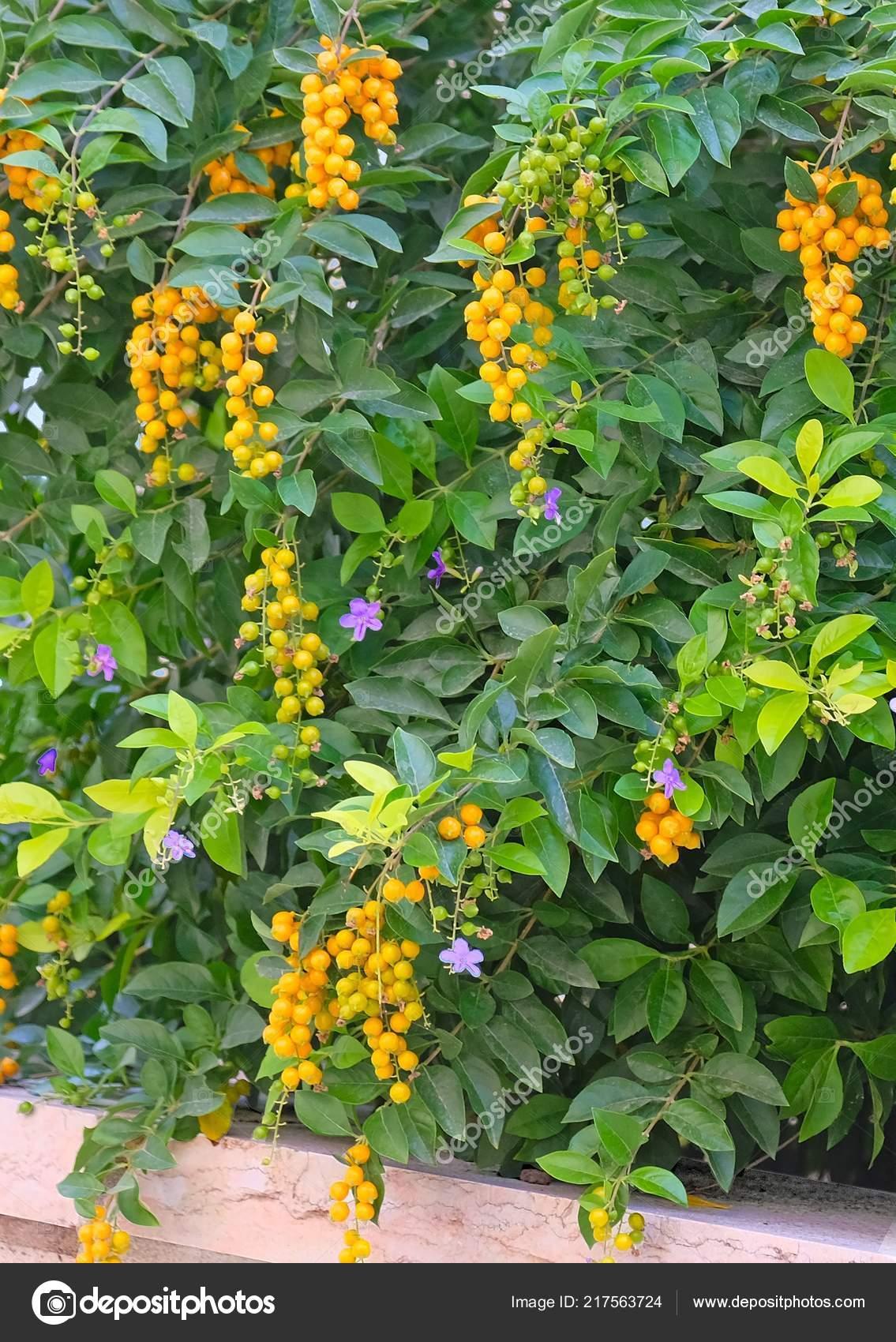 Bright Yellow Flowers Mahonia Growing Bushes Dense Green Foliage