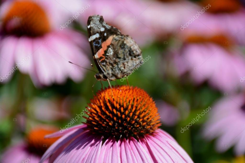 Bright closeup of a red admiral butterfly alighting on a purple coneflower blossom.