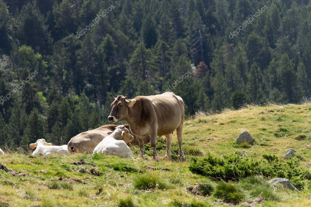 A brown cow stands near a sitted white calf.