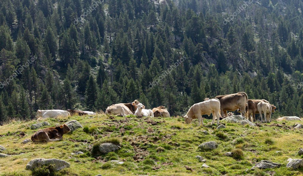 Various cows sit on a hill surrounded by a forest, with a white calf in the middle.