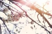 pozadí na jaře mandlové květy stromu. Selektivní fokus