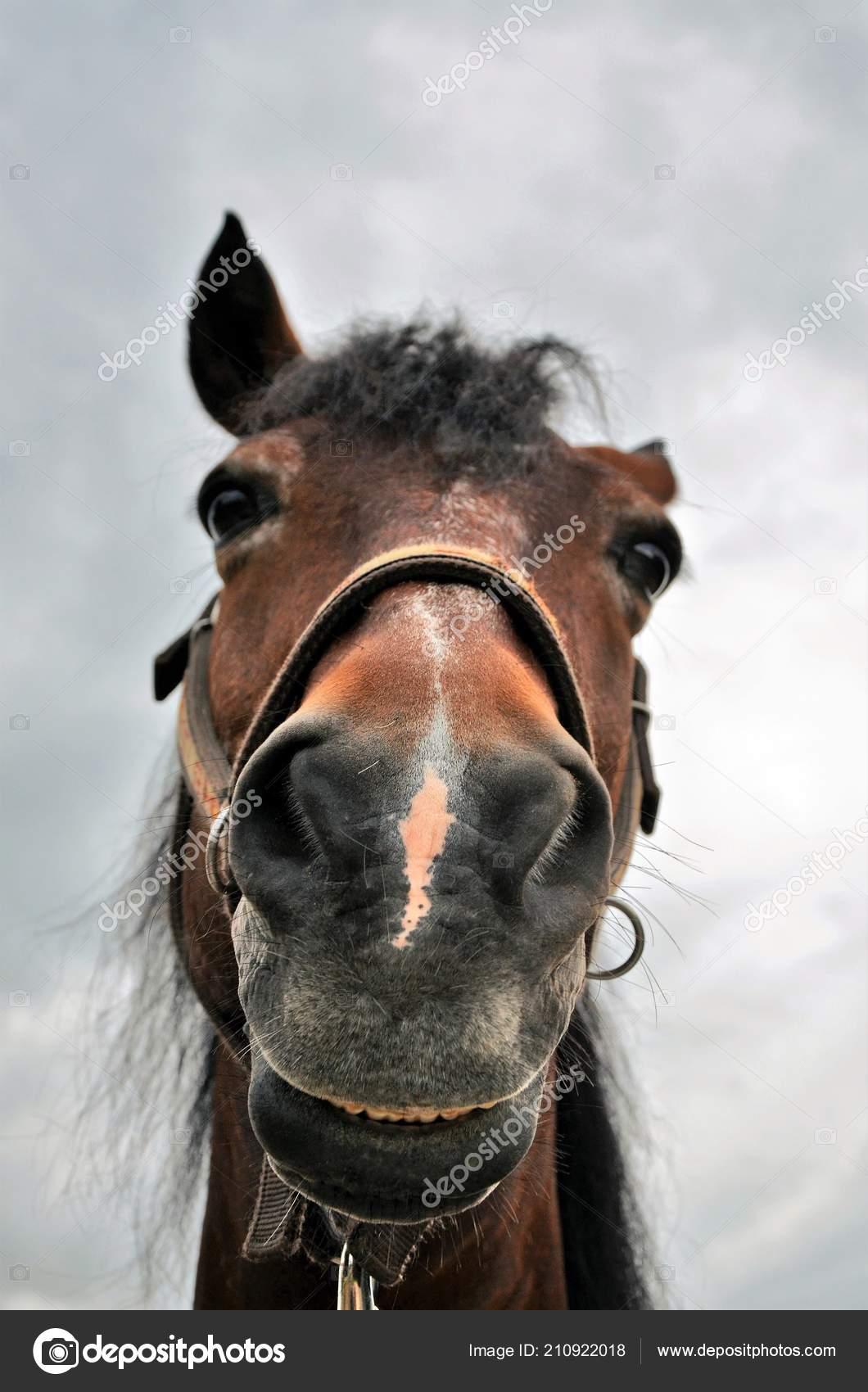 Funny Horse Head Close Stock Photo C Dewaardimar 210922018