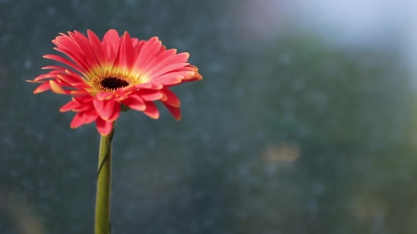 Time-lapse of red Gerber flower close up