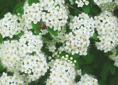 Blooming bush, solid white flowers background