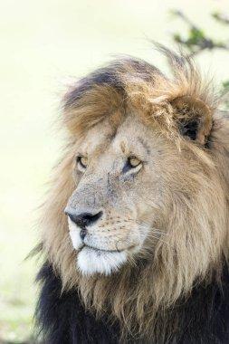 Male Lion (Panthera leo) portrait, Masai Mara, Kenya.