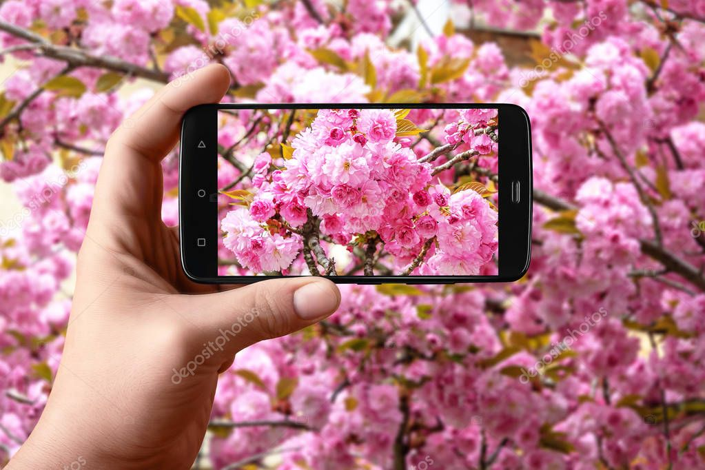 Hand holding smartphone taking photo of sakura cherry tree with phone in spring. Sakura bloom. Photos of the smartphone for the post in social networks.