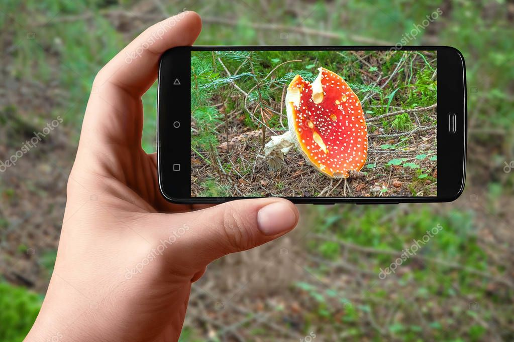 Smartphone in hand photographing wild mushrooms on the screen. Photos of forest flora for posting on social networks.