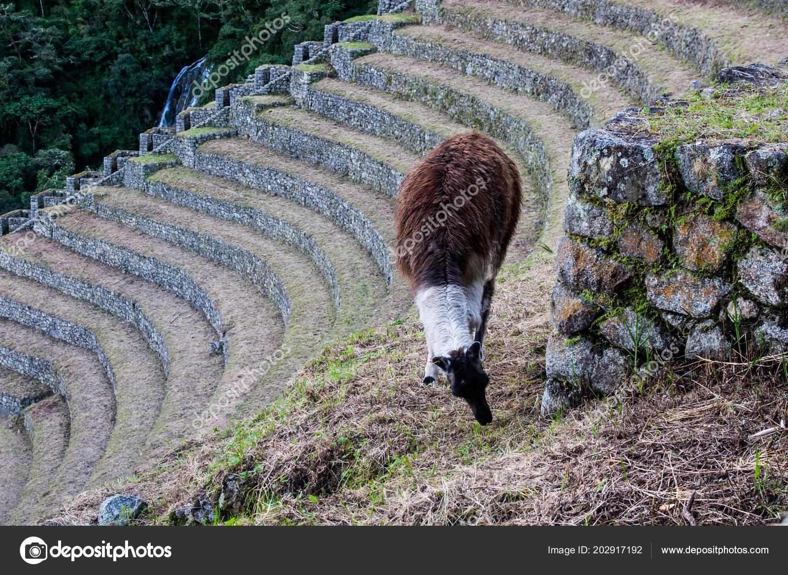 Llama En Una Terraza De Cultivo En El Camino Inca A Machu
