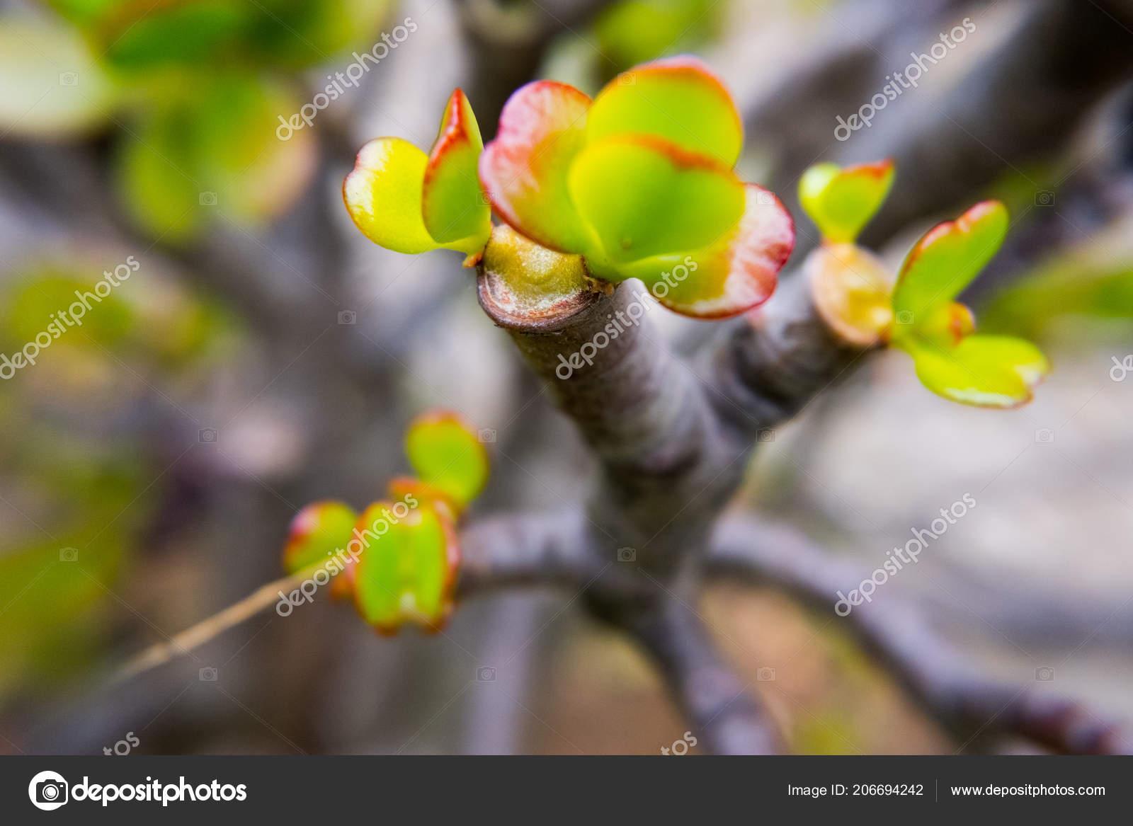 foto de Red leafs de branche de plante grasse de bords. — Photographie ...