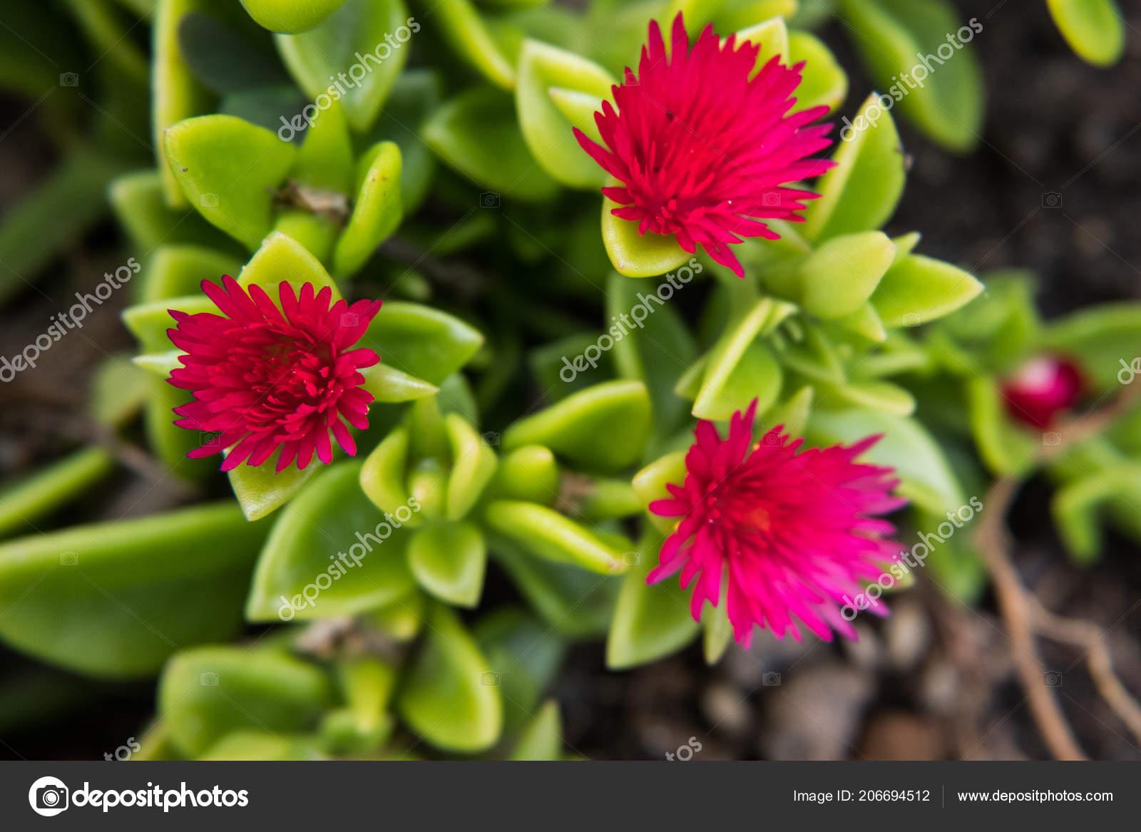 fleur rouge d une plante grasse verte photographie. Black Bedroom Furniture Sets. Home Design Ideas
