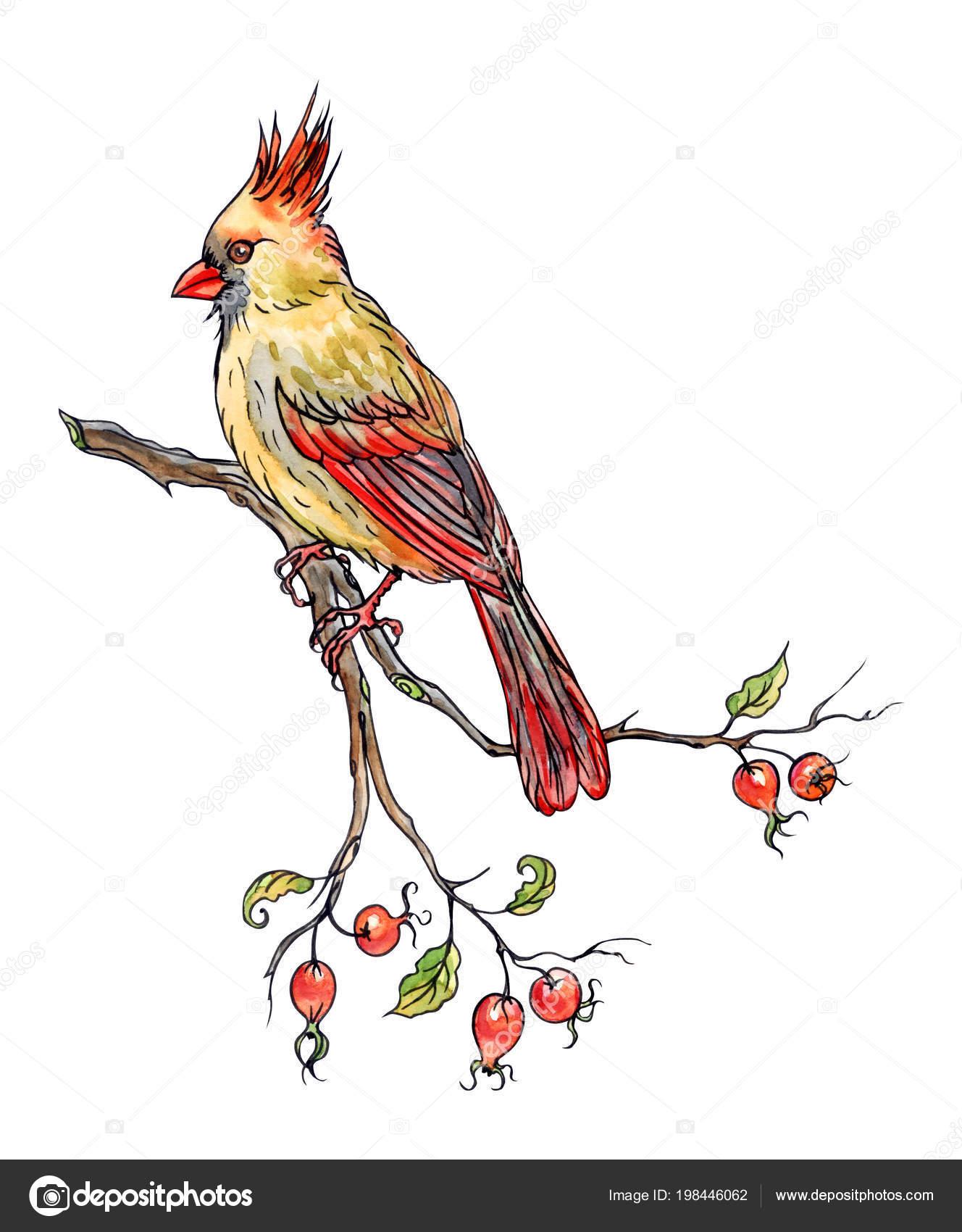 Cardinal On Branch Drawing Bird Cardinal Branch Hand Drawing