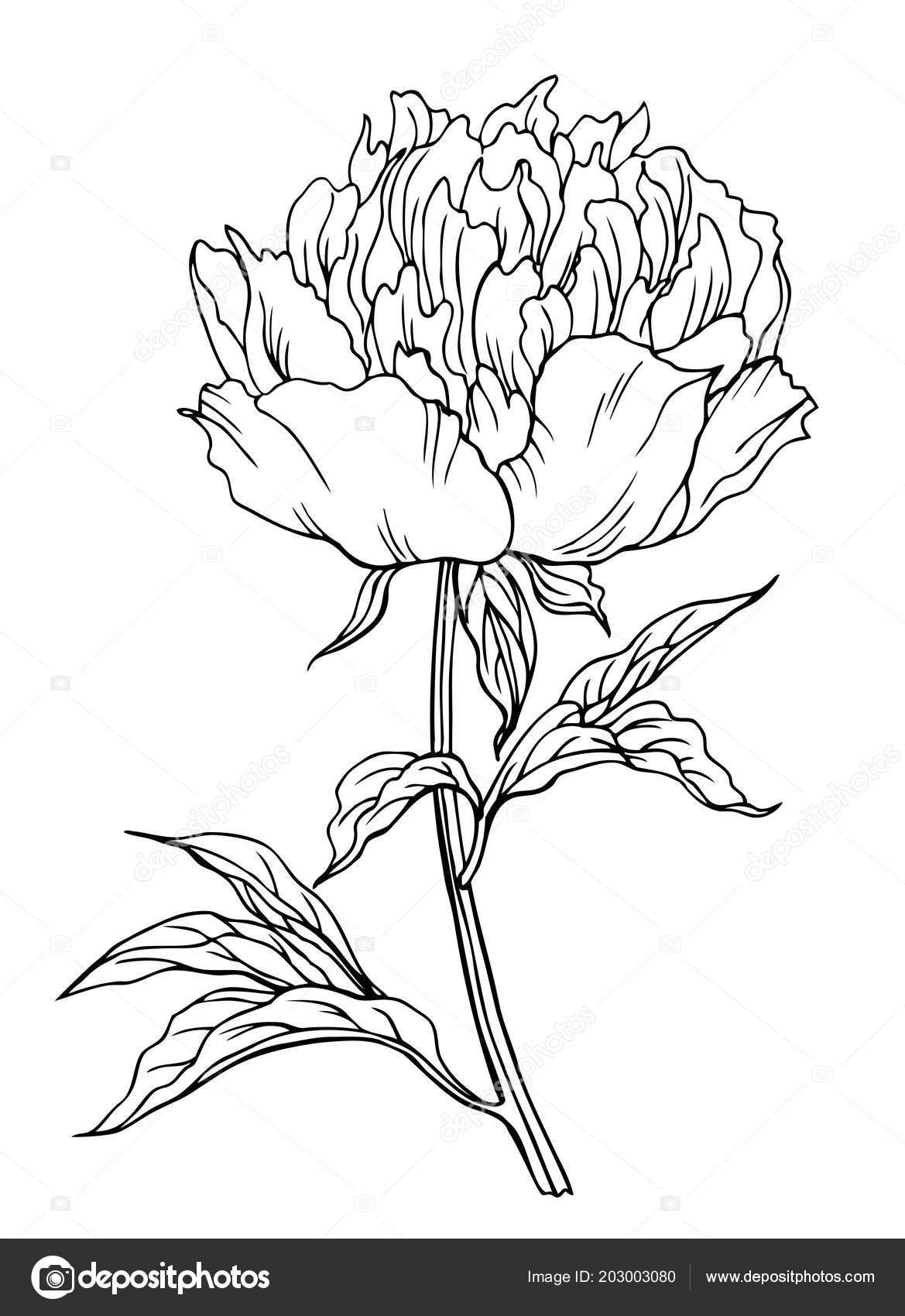 Peony Flower Outline Black White Vector Illustration Stock Vector