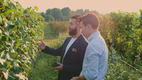Coworking muži na vinici poznávání hroznů.