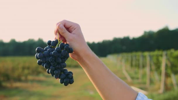 Big juicy bunches of ripe grapes in male hands at harvest time for wine. Man testing ripening of grapes.