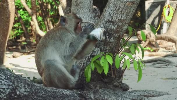 Funny Monkey Drinking beer On Beach under a tree