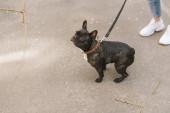 kivágott kilátás nő álló fekete francia bulldog