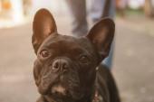 Photo selective focus of cute french bulldog looking at camera outside