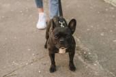 vágott kilátás lány séta fekete francia bulldog