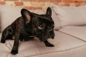 fekete és aranyos francia bulldog néz fel, és ül a kanapén