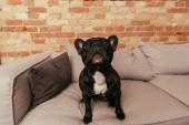 fekete és aranyos francia bulldog néz fel, miközben ül a kanapén