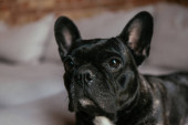 Photo adorable and black french bulldog in living room
