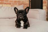 Photo adorable french bulldog lying on sofa in living room