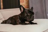 fekete francia bulldog fekvő kanapén a modern nappaliban