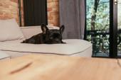 szelektív fókusz fekete francia bulldog nézi a kamerát, miközben fekszik a kanapén a nappaliban