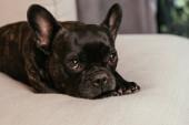 Schwarze französische Bulldogge blickt in die Kamera, während sie im Wohnzimmer auf dem Sofa liegt