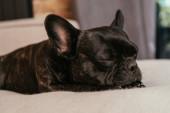 Photo black french bulldog sleeping on sofa in living room