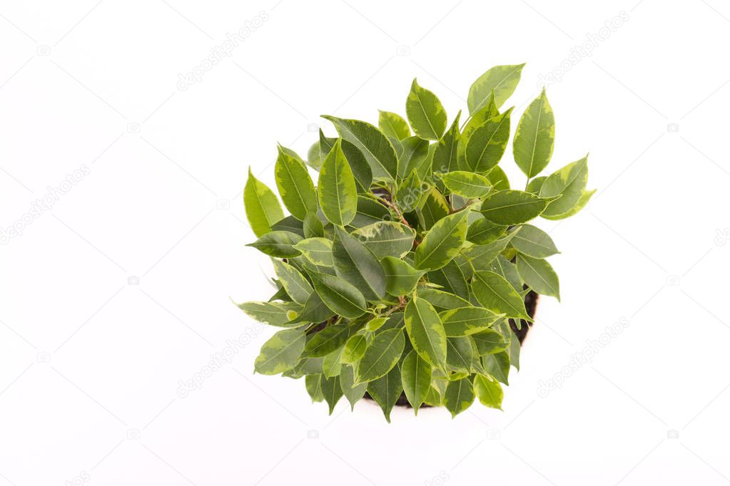 Ficus benjamina in a pot on a white background