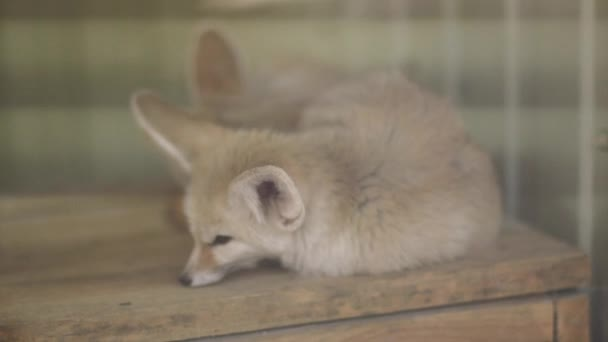 little Fox rests behind the glass at the zoo