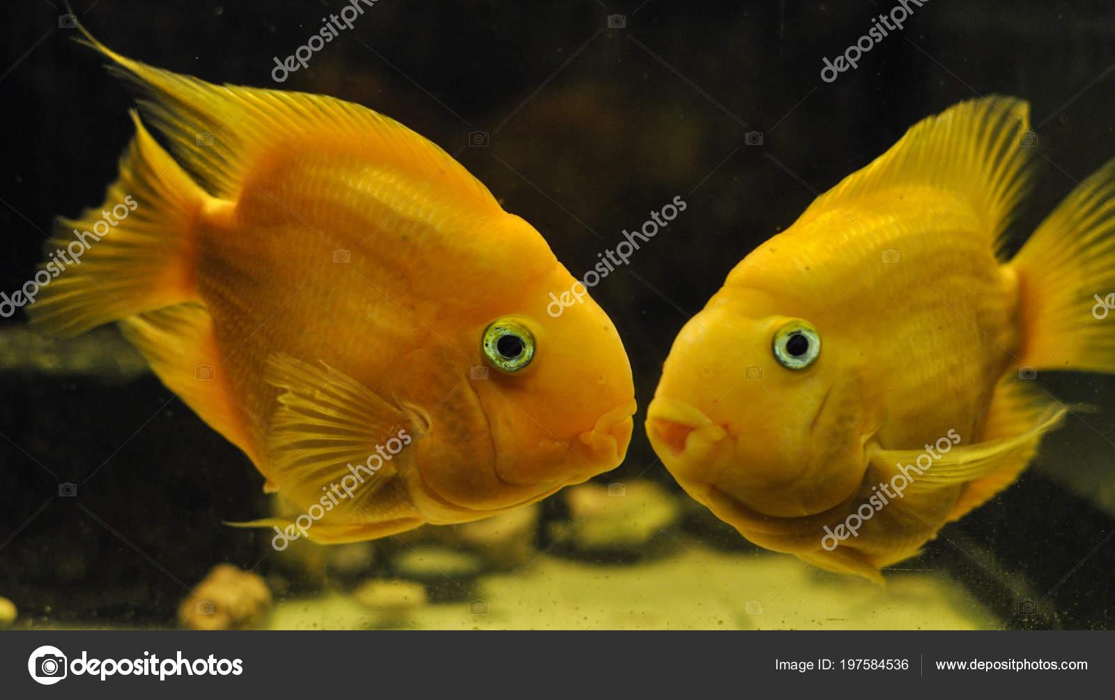 cbdd2e97979ecd Риби Папуги Рибки Акваріумні — Стокове фото — жовтий © darkocv ...