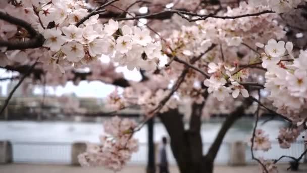 Horizontální kompozice kvetoucí třešňový květ na dvou řadách stromů