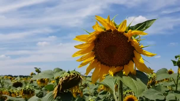Agricultural sunflower field in Ukraine. Bright yellow sunflower in wind and drooping sunflowers on background. Helianthus annuus flower closeup with blue sky and white clouds.