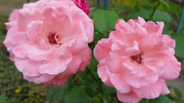 Két hamvas rózsaszín rózsa közelsége lengett a szélben vízcseppekkel a finom nedves szirmokon alkonyatkor. A természet szépsége, míg a nyári esős időjárás. Esőcseppek a rózsa virágai között esőben