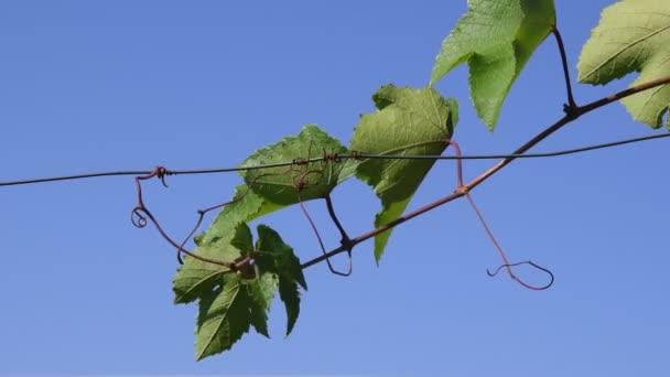 Friss szőlő ág göndör indákkal, dróttal mászik a tiszta kék ég felé. Zöld levelek röpködnek a szélben. Ökológiai szőlőtermesztés