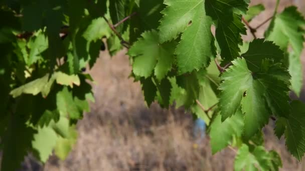 Grapevine branch with fresh green leaves fluttering in wind. Foliage of grape at vineyard with blurred background and copy space. Organic viticulture growing