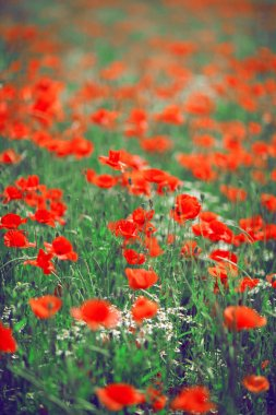beautiful summer meadow with poppies and chamomile, can be used as background