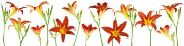 beautiful flowers and plants of day lilies isolated, can be used as background
