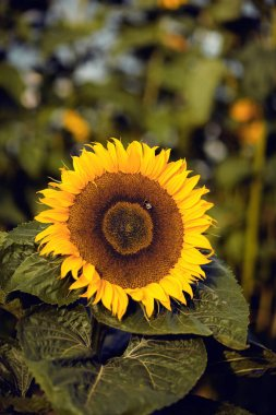 beautiful big sunflower in a rural field, close up, can be used as background
