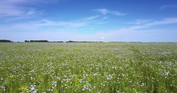 Nádherná kamera pohybuje nízko nad obrovské kvetoucí pohanky pole s daleko lesa proti modré obloze s bílé mraky