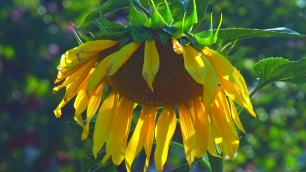 close view wind waves large sunflower yellow petals