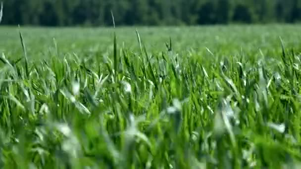 closeup wind waves young green wheat stalks on field
