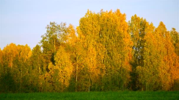 grove zlatý bříza proti světla obloha při západu slunce