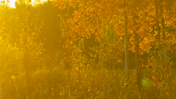 magical glade with young trees golden birch under sunlight