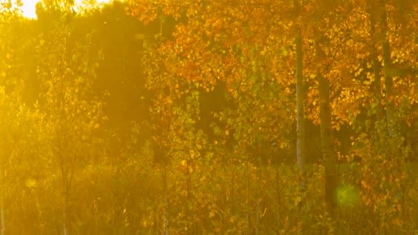 magische Lichtung mit jungen Bäumen goldene Birken im Sonnenlicht