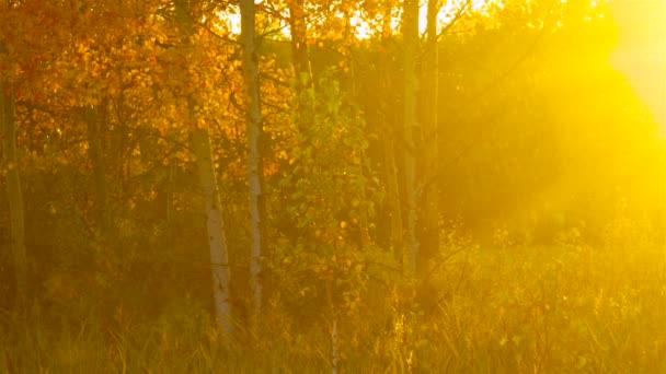 magische indische Herbst Bild Gold Birken im Abenddunst von Sonnenstrahlen bei Sonnenuntergang beleuchtet