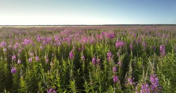 purple lavender flowers on green stems bloom on vast meadow