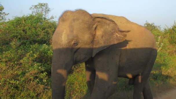 slon kráčí ve stínu auta a třese velkýma ušima